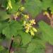 Ribes americanum - Photo (c) michiganwillie,  זכויות יוצרים חלקיות (CC BY-NC), uploaded by michiganwillie
