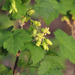 Ribes americanum - Photo (c) michiganwillie, algunos derechos reservados (CC BY-NC), uploaded by michiganwillie