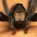 Wolf Spiders - Photo (c) Marshal Hedin, some rights reserved (CC BY-NC-SA)