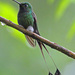 Booted Racket-Tail - Photo (c) Jerry Oldenettel, some rights reserved (CC BY-NC-SA)