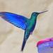 Sinisiipikolibri - Photo (c) Jerry Oldenettel, osa oikeuksista pidätetään (CC BY-NC-SA)