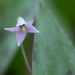 Minnesota Dwarf Trout Lily - Photo (c) dogtooth77, some rights reserved (CC BY-NC-SA)