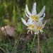 Erythronium howellii - Photo (c) Cynthia Cheney, algunos derechos reservados (CC BY-NC)
