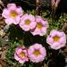 Oxalis obtusa - Photo (c) James Gaither, algunos derechos reservados (CC BY-NC-ND)