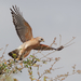 Red-shouldered Hawk - Photo (c) Richard Wottrich, some rights reserved (CC BY-NC)