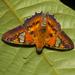 Myscelus santhilarius - Photo (c) Arnold Wijker, some rights reserved (CC BY-NC)