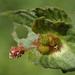 Acalypha australis - Photo (c) 葉子, algunos derechos reservados (CC BY-NC-ND)