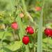 Fresas - Photo (c) Vladimir Bryukhov, algunos derechos reservados (CC BY-NC)