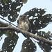 Mochuelo Amazónico - Photo (c) David Pedroza Guimarães, algunos derechos reservados (CC BY-NC)