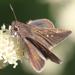 Lerodea eufala concepcionis - Photo (c) orlandomontes, algunos derechos reservados (CC BY-NC)