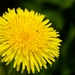 Common Dandelion - Photo (c) stremblay21, some rights reserved (CC BY-NC)