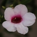 Pandorea jasminoides - Photo (c) lifeisamazing, algunos derechos reservados (CC BY-NC)