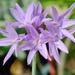 Tulbaghia violacea - Photo (c) 澎湖小雲雀, μερικά δικαιώματα διατηρούνται (CC BY-NC-SA)