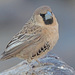 Sociable Weaver - Photo (c) Felix Riegel, some rights reserved (CC BY-NC)