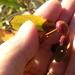 Pontania viminalis - Photo (c) cosmictodd, algunos derechos reservados (CC BY-NC-SA), uploaded by Todd Plummer