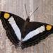 Mariposa Emperador - Photo (c) Detroit Zoo Butterflies, algunos derechos reservados (CC BY-NC-SA)
