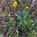 Helianthus pauciflorus subrhomboideus - Photo (c) Will Van Hemessen, algunos derechos reservados (CC BY-NC)