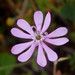 Mediterranean Catchfly - Photo (c) williamdomenge9, some rights reserved (CC BY-NC)