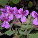 Wild Mallow - Photo (c) Nicholas Turland, some rights reserved (CC BY-NC-ND)