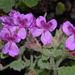 Pelargonium cucullatum - Photo (c) Nicholas Turland, algunos derechos reservados (CC BY-NC-ND)