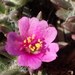 Shaggy Portulaca - Photo (c) 葉子, some rights reserved (CC BY-NC-ND)