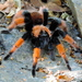 Mexican Redleg Tarantula - Photo (c) Francisco Farriols Sarabia, some rights reserved (CC BY)