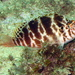 Threadfin Hawkfish - Photo (c) Richard Ling, some rights reserved (CC BY-NC-ND)