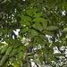 Tetragastris panamensis - Photo (c) Letizia Weichgrebe, algunos derechos reservados (CC BY-NC)