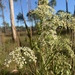 Coastal Plain Angelica - Photo (c) lillybyrd, some rights reserved (CC BY-NC)