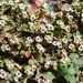 Euphorbia polycarpa polycarpa - Photo (c) sea-kangaroo, algunos derechos reservados (CC BY-NC-ND)