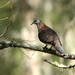 Bar-shouldered Dove - Photo (c) Victor W Fazio III, some rights reserved (CC BY-NC)