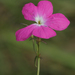 Vlei Ink-Flower - Photo (c) Joachim Louis, some rights reserved (CC BY-NC-ND)