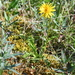 Taraxacum macilentum - Photo (c) Игорь Поспелов, algunos derechos reservados (CC BY-NC)