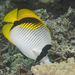 Lined Butterflyfish - Photo (c) Mark Rosenstein, some rights reserved (CC BY-NC-SA)