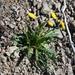 Taraxacum macroceras - Photo (c) Игорь Поспелов, algunos derechos reservados (CC BY-NC)