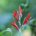 Cañas de Indias - Photo (c) Forest_13, algunos derechos reservados (CC BY-NC)