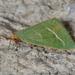 Mixochroa gratiosata - Photo (c) Jim Duggan,  זכויות יוצרים חלקיות (CC BY-SA)