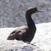 Phalacrocorax neglectus - Photo (c) Bob McDougall, algunos derechos reservados (CC BY-NC)