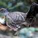 Sooty Grouse - Photo (c) Steven Mlodinow, some rights reserved (CC BY-NC)
