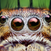 Jumping Spiders - Photo (c) Thomas Shahan, some rights reserved (CC BY-NC-ND)