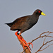 Black Crake - Photo (c) Ian White, some rights reserved (CC BY-ND)