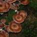 Armillaria solidipes - Photo (c) Thorsten Usée, algunos derechos reservados (CC BY-NC)