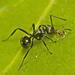 Polyrhachis clio - Photo (c) tjeales, algunos derechos reservados (CC BY-NC)