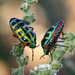 Rainbow Shield Bug - Photo (c) Cecile Roux, some rights reserved (CC BY-NC)