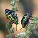 Calidea dregii - Photo (c) Cecile Roux, μερικά δικαιώματα διατηρούνται (CC BY-NC)