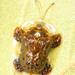Helocassis clavata - Photo (c) Judy Gallagher,  זכויות יוצרים חלקיות (CC BY-NC)