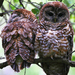 Spotted Owl - Photo (c) Blake Matheson, some rights reserved (CC BY-NC)