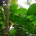 Monstera membranacea - Photo (c) Lyndsay Bee, μερικά δικαιώματα διατηρούνται (CC BY-NC)