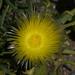 Conicosia pugioniformis - Photo (c) Jerry Kirkhart, algunos derechos reservados (CC BY)