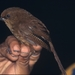 Cucarachero Sepia - Photo Aves y Conservación, sin restricciones conocidas de derechos (dominio público)